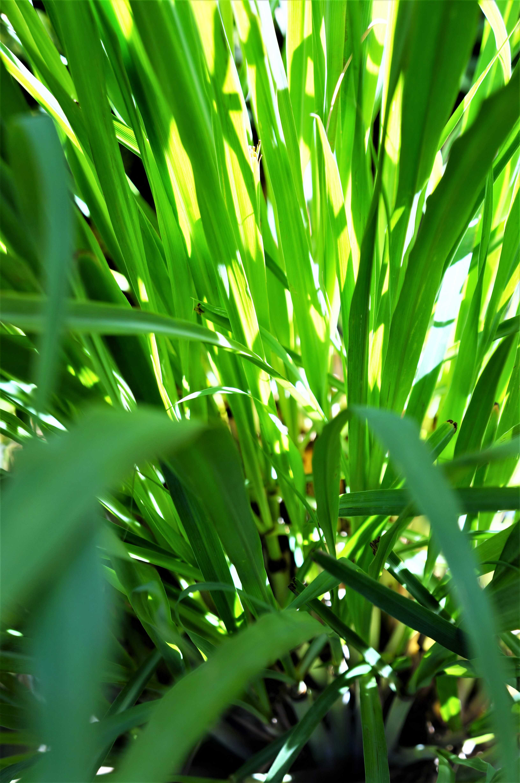 Lemongrass3